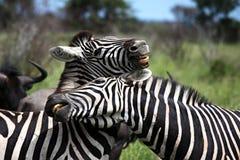Spielen mit zwei Zebras Stockbilder