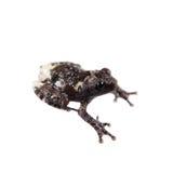 Spielen Sie das moosige Frogling, Theloderma-stellatum, auf Weiß die Hauptrolle Stockbild