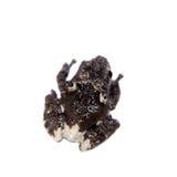 Spielen Sie das moosige Frogling, Theloderma-stellatum, auf Weiß die Hauptrolle Stockfoto