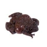 Spielen Sie moosigen Frosch, Theloderma-stellatum, auf Weiß die Hauptrolle Lizenzfreie Stockfotos