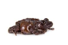 Spielen Sie moosigen Frosch, Theloderma-stellatum, auf Weiß die Hauptrolle Lizenzfreies Stockfoto