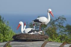 Spielen Sie Nest eines Storchs mit Vögeln auf ihm Lizenzfreies Stockbild