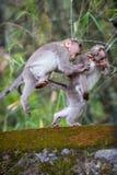 Spielen von Affen Stockfotografie
