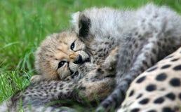 Spielen von Gepardjungen Stockbild