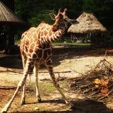 Spielen von giraf Lizenzfreie Stockfotos