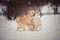 Spielen von goldenen Retrievern am Wintertag Lizenzfreie Stockfotos