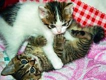 Spielen von Kätzchen lizenzfreie stockfotos
