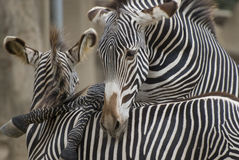 Spielen von Zebras Stockfoto