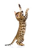Spielerische Bengal-Katze Getrennt auf weißem Hintergrund Lizenzfreies Stockbild