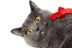 Spielerische britische Katze liegt mit einem roten Bogen auf einem weißen Hintergrund Lizenzfreies Stockfoto