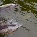 Spielerische Delphine, die entlang Boot auftauchen und schwimmen lizenzfreie stockfotografie