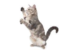 Spielerische graue gestreifte Katze Lizenzfreie Stockbilder