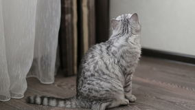 Spielerische graue schottische Katze, Nahaufnahme stock video footage