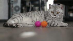 Spielerische graue schottische Katze zu Hause Nahaufnahme stock video footage