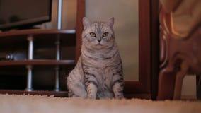 Spielerische graue schottische Katze zu Hause Nahaufnahme stock footage