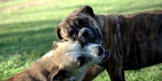 Spielerische Hunde lizenzfreies stockbild