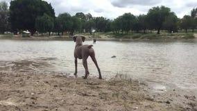 Spielerische Hunde stock footage