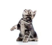 Spielerische junge schwarze Katze, die oben schaut Stockfoto