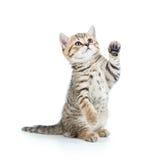 Spielerische Kätzchenkatze Stockfotos
