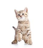 Spielerische Kätzchenkatze auf Weiß Lizenzfreies Stockbild