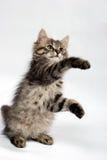 Spielerische kleine Miezekatze Stockfotos