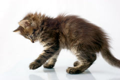 Spielerische kleine Miezekatze Stockfotografie