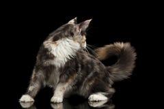 Spielerische Maine Coon Cat Looks an seinem Endstück, schwarz Stockfotografie