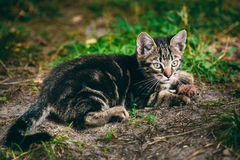 Spielerische nette Tabby Gray Cat Kitten Pussycat stockfotos
