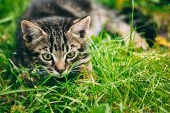 Spielerische nette Tabby Gray Cat Kitten Pussycat lizenzfreies stockbild