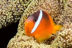 Spielerische orange clownfish Lizenzfreie Stockfotografie
