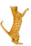 Spielerische orange Katze Auf weißem Hintergrund Lizenzfreie Stockbilder
