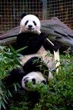 Spielerische Pandas lizenzfreies stockfoto