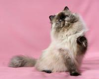 Spielerische persische Dichtung tortie colorpoint Katze Lizenzfreies Stockfoto