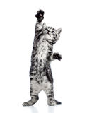 Spielerische schwarze Kätzchenkatze auf Weiß Stockbilder