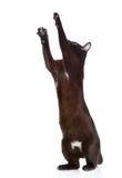 Spielerische schwarze Katze Auf weißem Hintergrund Lizenzfreies Stockbild