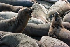 Spielerische Seelefanten Lizenzfreie Stockbilder