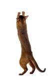 Spielerischer Abyssinier Cat Standing auf den hinteren Beinen, Tatze oben anhebend Lizenzfreie Stockfotografie