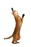 Spielerischer Abyssinier Cat Standing auf den hinteren Beinen, Tatze oben anhebend Stockfoto