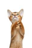 Spielerischer Abyssinier Kitty Curious Standing auf lokalisiertem weißem Hintergrund Lizenzfreie Stockbilder