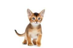 Spielerischer Abyssinier Kitty Curious Standing auf lokalisiertem weißem Hintergrund Lizenzfreies Stockfoto