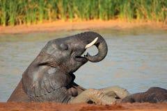 Spielerischer afrikanischer Elefant Stockfotografie