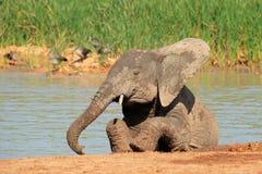 Spielerischer afrikanischer Elefant Stockbild