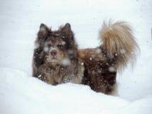 Spielerischer australischer Schäfer Dog Running im Schnee lizenzfreie stockfotos