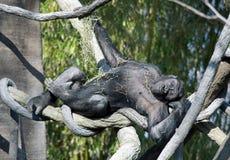 Spielerischer Gorilla Stockfoto