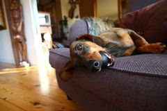 Spielerischer Hund Lizenzfreie Stockbilder
