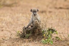 Spielerischer junger Pavian, der nach Problem in der Natur sucht Lizenzfreie Stockfotografie