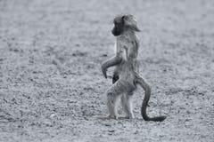Spielerischer junger Pavian, der nach Problem in Natur künstlerischem conv sucht Lizenzfreie Stockbilder