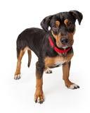 Spielerischer junger Rottweiler-Hund, der wachsam steht Lizenzfreies Stockfoto