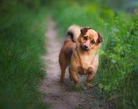 Spielerischer kleiner Hund Lizenzfreies Stockfoto