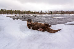 Spielerischer Otter Stockfotografie